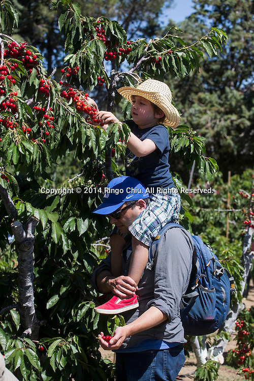 People pick cherries on Monday, May, 26, 2014, in Leona Valley near Plamdale, California. (Photo by Ringo Chiu/PHOTOFORMULA.com)