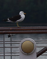 Lesser Black-backed Gull (Larus fuscus).  Viewed from the deck of the MV Explorer. Stockholm Archipelago. Stockholm, Sweden. Image taken with a Nikon Df camera and 70-200 mm lens.