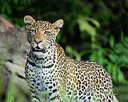 Leopard pauses, alert to something ahead, Chobe National Park, Botswana, © David A. Ponton