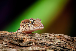 © under license to London News Pictures. 23/09/12. A Madagascan Ground Gecko. Animals appear to pose for their portrait as part of a photo session in Macro photography at Park Farm in the heart of Knowsley Safari Park in Merseyside. Photo credit should read IAN SCHOFIELD/LNP