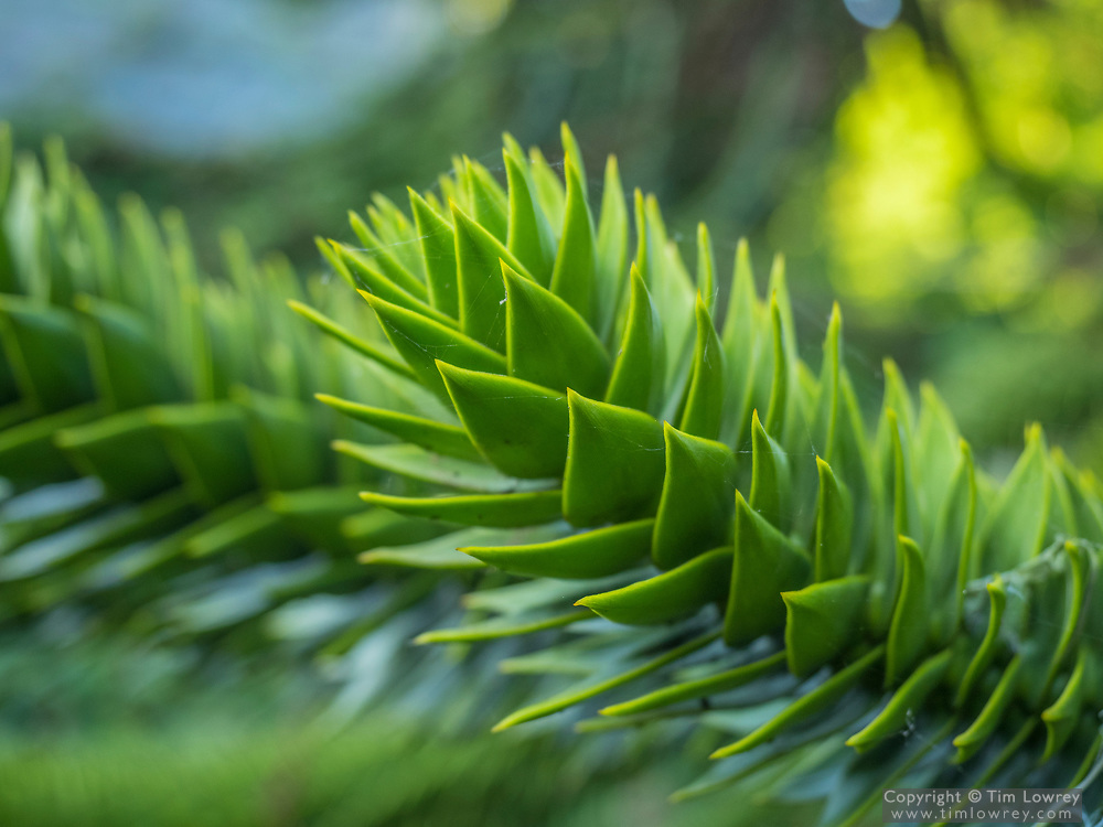 Close Up Of A Branch Of A Monkey Puzzle Tree A Slow Growing Evergreen Conifer Which Can Live To 700 Years.