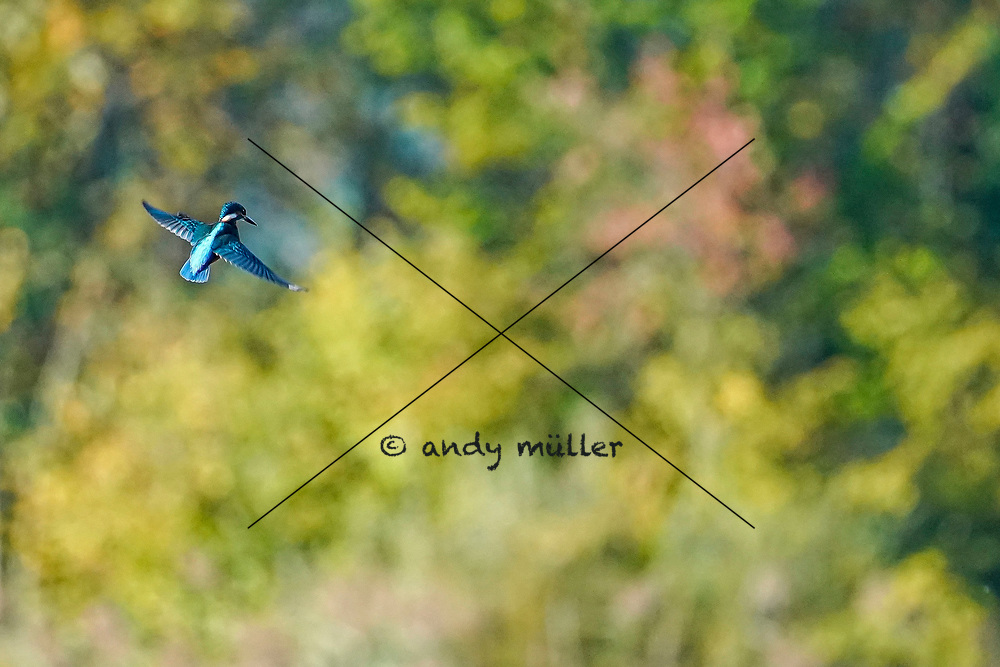 12.10.2019; Zufikon; <br /> Eisvogel im Ruettelflug im Flachsee <br /> (Andy Mueller/freshfocus)