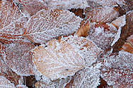HOAR FROST ON LEAVES