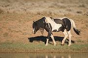 Wild mustang stallion at waterhole in Wyoming
