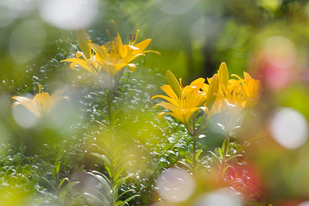 Bellevue Botanical Garden, day lilies, summer, Bellevue, Washington, USA