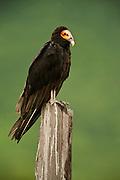 Greater Yellow-headed Vulture (Cathartes melambrotus) <br /> Savannah<br /> Rupununi<br /> GUYANA. South America<br /> RANGE: South America