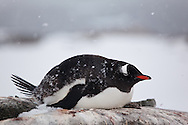 Gentoo penguin (Pygoscelis papua) sitting on nest in falling snow on Peterman Island