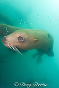 Steller's sea lion, or Steller sea lion, or northern sea lion, Eumetopias jubatus (an Endangered Species in the western part of its range, and Threatened in the eastern portion), Glacier Island, Columbia Bay, Alaska ( Prince William Sound )