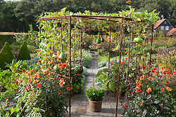 Mixed gourds - Lagenaria - growing over a metal pergola with Dahlia 'Olympic Fire' around the base in the potager at De Boschhoeve