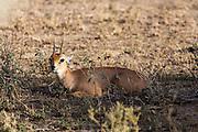 Steenbok in African habitat
