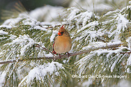 01530-22913 Northern Cardinal (Cardinalis cardinalis) female in pine tree in winter snow Marion Co. IL