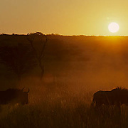 Blue Wildebeest, (Connochaetes taurinus) Herd moving across Kalahari Desert,silhouet ted by low evening sun. Africa.