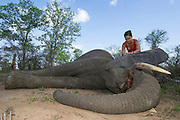 Tranquilized elephant<br /> & capture team<br /> (Loxodonta africana)<br /> Elephants darted from helicopter to be relocated.<br /> Zimbabwe