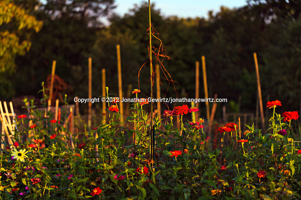 A sunlit row of mostly red Zinnia and other colorful flowers grows next to a wire fence in a garden. WATERMARKS WILL NOT APPEAR ON PRINTS OR LICENSED IMAGES.