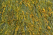 Seaweed (kelp), Cape Hopewell Rocks, New Brunswick, Canada<br />Cape Hopewell Rocks<br />New Brunswick<br />Canada