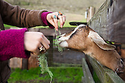 A young woman feeds an eager goat lichen through a fence at Slide Ranch, a non-profit teaching farm in the Golden Gate National Recreation Area near Muir Beach, California.