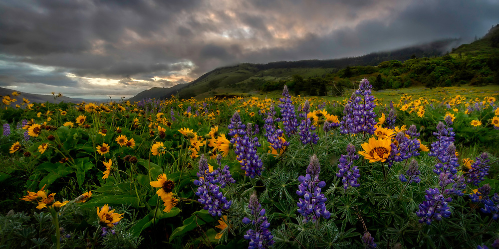 The sunrise peaks through the clouds of the Columbia River Gorge as the wildflowers stand tall on Rowena Crest in Oregon. Limited Edition of 50.