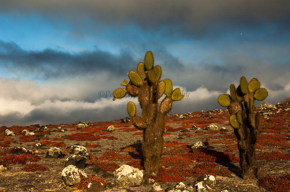 Giant Prickly Pear Cactus (Opuntia echios) and Sea Purslane (Sesuvium portulacastrum) on South Plaza Island.<br /> Galapagos Islands<br /> ECUADOR.  South America<br /> South Plazas is part of the Arid Zone<br /> Opuntia are one of the most distinctive Galapagos plants. The development of the tree form was due to competition of other cactus seedlings for light as well as grazing pressure from giant tortoises. They have spines on their trunks to prevent herbivores from eating them as well as to consense water. <br /> Sea Purslane is one of the most colorful plants when it turns red during the dry season from May to December.<br /> Both plants are ENDEMIC TO GALAPAGOS
