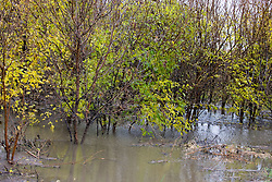 30 October 2009: Water floods a small wooded area near Padua Illinois.  Padua is a small half dozen home village between LeRoy and Lexington on the county highway that connects the 3 towns.