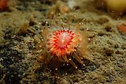 Devonshire Cup Coral (Caryophyllia smithii). Gullmarsfjorden, Kattegat, Baltic Sea, Sweden. | Nelkenkoralle (Caryophyllia smithii). Gullmarsfjord, Kattegat, Ostsee, Schweden.