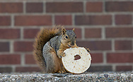 A squirrel eats a bagel on Tuesday afternoon near the First Presbyterian Church in South Bend.