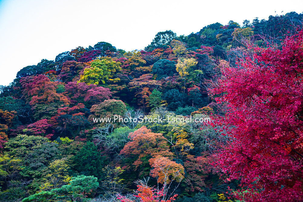 Kōyō (Koyo - Autumn Foliage) As autumn descends, it turns Japan's forests radiant shades of red, orange, and yellow. Photographed in Kyoto, Japan in November