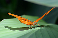 Butterfly, Dryas iulia, Julia Heliconian, Resting On A Green Leaf, Longwing
