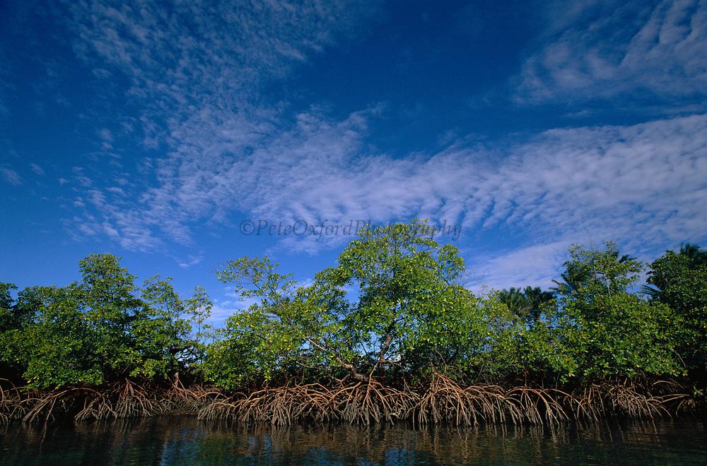 Red Mangrove<br />Rhizophora mangle<br />Atlantic Coast. BRAZIL.  South America<br />Distribution: Pan Tropical