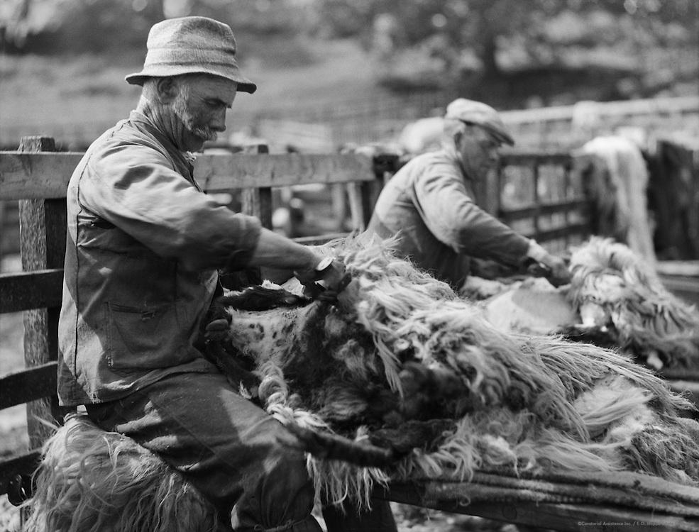 Sheep Shearing, North Country, England, 1933