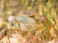 Spotted Sunfish<br /> <br /> Bryce Gibson/Engbretson Underwater Photography