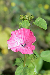 Close-up of Mallow (Malva sylvestris) blossom, Munich, Bavaria, Germany