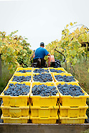 Max Lawton hauls lugs of freshly picked Norton grapes at Robller Vineyard and Winery in New Haven, Missouri. Robller has 17 acres of vineyards and grows a dozen varieties of grapes.