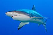Gray reef shark ( Carcharhinus amblyrhynchos ) full frontal body view, Fathers reefs, Kimbe Bay