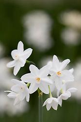 Narcissus papyraceus 'Ziva' - Paperwhite narcissus