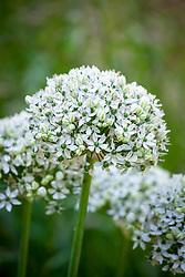 Allium 'Nigrum' syn. Allium Multibulbosum