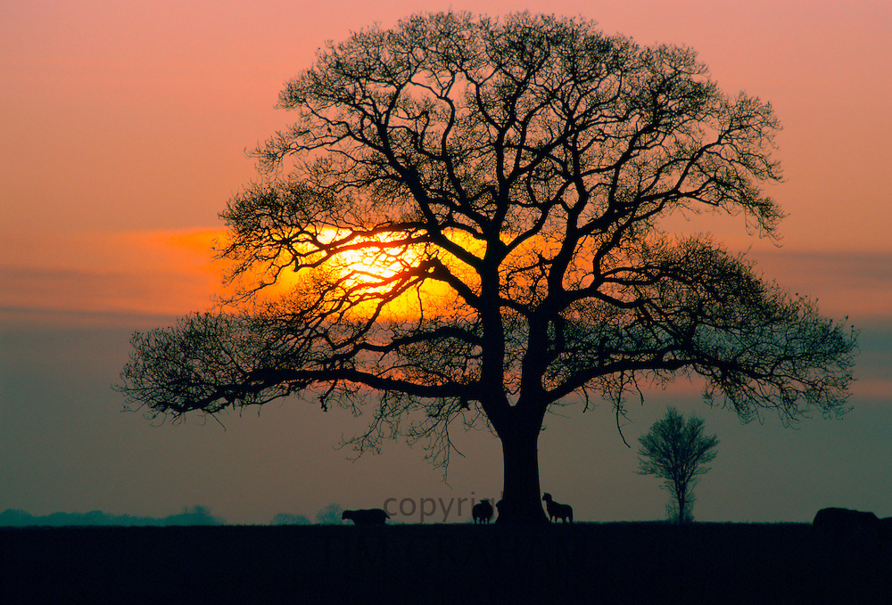 Sheep silhouetted against the sunset  as they shelter under an oak tree, England