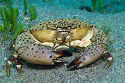 Florida stone crab Menippe mercenaria crawls over the sandy bottom of the Lake Worth Lagoon in Singer Island, FL.