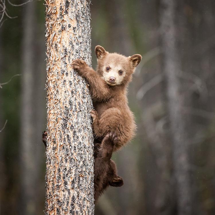 Black bear cub, colour phase, Jasper National Park, Alberta, Canada