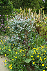 Early growth of stooled Eucalyptus gunnii with Phormium 'Sundowner' and Chrysanthemum segetum ( Corn marigold )  in the exotic garden at Great Dixter