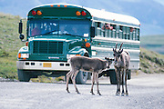 Alaska. Denali Park Road with Caribou (Rangifer tarandus) and Denali Shuttle bus.