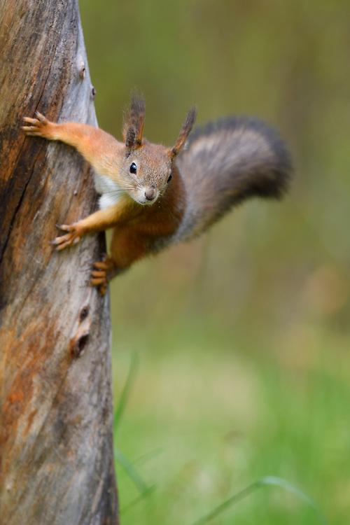 Red squirrel, Sciurus vulgaris, boreal Taiga forests, Ovre Pasvik National Park, Norway