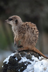 Meerkats in the snow at Edinburgh Zoo..©Michael Schofield.