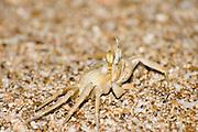 sand crabs AKA Ghost crabs Ocypode quadrata