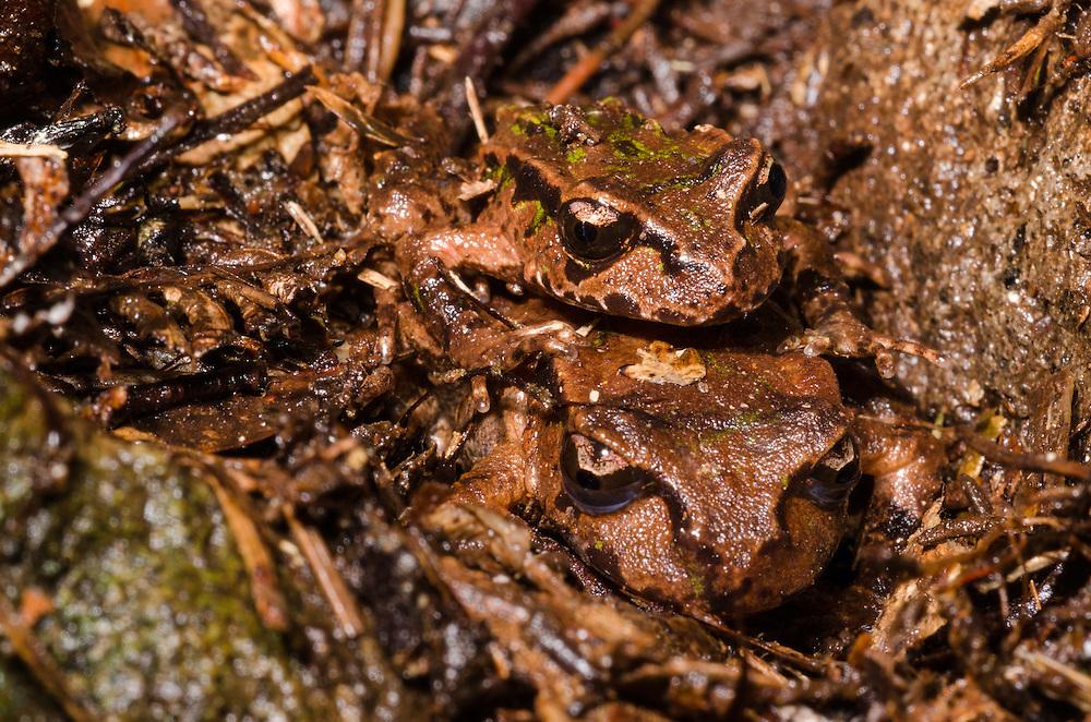 Archey's frog, Leiopelma archeyi