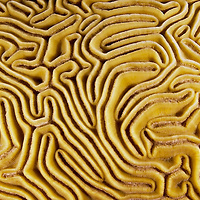 Grooved Brain Coral, Diploria labyrinthiformis, Grand Cayman