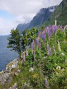 Isle Runde Norway flowering lupins