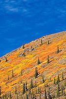 Slopes of the north Ogilvie Mountains displaying vibrant autumn foliage, Yukon Canada