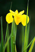 Yellow Flag Iris, Iris pseudacorus, by garden pond, Kent UK