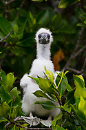 Genovesa Island with a large population of nesting sea birds in the Galapagos National Park, Galapagos, Ecuador