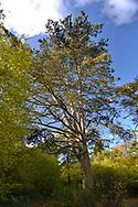 Mature Corsican Pine Pinus nigra ssp. maritima , Stoke Wood, Oxfordshire.